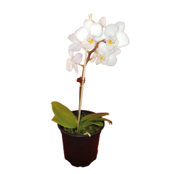 Orquideas en maceta